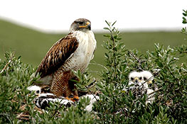 Ferruginous Hawk Family. Photo by Randy McCulloch.