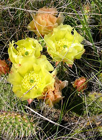 Prickly Pear Cactus. Photo by Krista Connick.